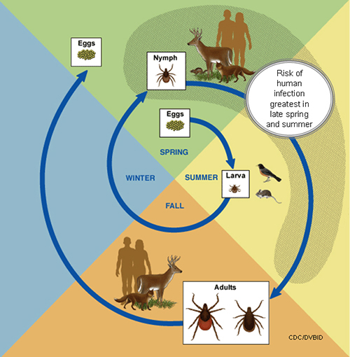 Tick Life Cycle.jpg